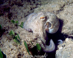 Octopus at Crete by Wiljo Jonsson